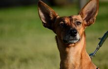 QUIRA, Hund, Podenco-Mix in Spanien - Bild 15