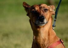 QUIRA, Hund, Podenco-Mix in Spanien - Bild 17