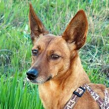 QUIRA, Hund, Podenco-Mix in Spanien - Bild 2