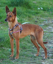 QUIRA, Hund, Podenco-Mix in Spanien - Bild 20