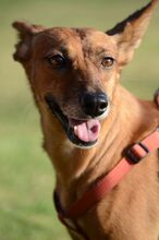 QUIRA, Hund, Podenco-Mix in Spanien - Bild 3