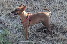 QUIRA, Hund, Podenco-Mix in Spanien - Bild 5