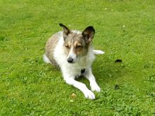 FLORINA, Hund, Collie Kurzhaar-Mix in Tostedt - Bild 1