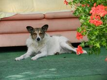 FLORINA, Hund, Collie Kurzhaar-Mix in Tostedt - Bild 7