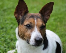 JACKINO, Hund, Jack Russell Terrier-Mix in Herzogenaurach - Bild 1