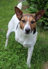 JACKINO, Hund, Jack Russell Terrier-Mix in Herzogenaurach - Bild 2