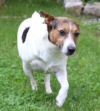 JACKINO, Hund, Jack Russell Terrier-Mix in Herzogenaurach - Bild 3