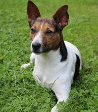 JACKINO, Hund, Jack Russell Terrier-Mix in Herzogenaurach - Bild 4