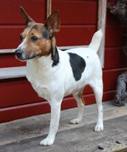 JACKINO, Hund, Jack Russell Terrier-Mix in Herzogenaurach - Bild 5