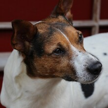 JACKINO, Hund, Jack Russell Terrier-Mix in Herzogenaurach - Bild 6