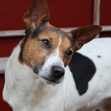 JACKINO, Hund, Jack Russell Terrier-Mix in Herzogenaurach - Bild 7