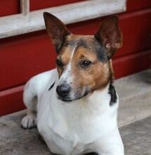 JACKINO, Hund, Jack Russell Terrier-Mix in Herzogenaurach - Bild 8