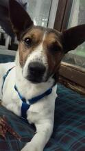 JACKINO, Hund, Jack Russell Terrier-Mix in Herzogenaurach - Bild 9