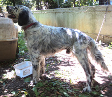 NERON, Hund, English Setter in Griechenland - Bild 3