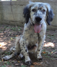 NERON, Hund, English Setter in Griechenland - Bild 4