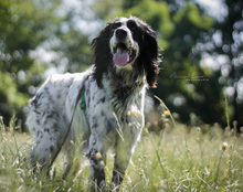 SAVANNAH, Hund, English Setter in Schlüchtern - Bild 4