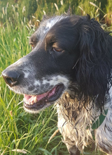 SAVANNAH, Hund, English Setter in Schlüchtern - Bild 6