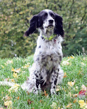 SAVANNAH, Hund, English Setter in Schlüchtern - Bild 7