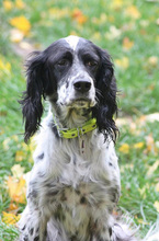 SAVANNAH, Hund, English Setter in Schlüchtern - Bild 8