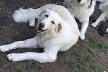 MOLLY, Hund, Maremmano-Mix in Italien - Bild 2