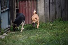 HELEN, Hund, Shar Pei-Mix in Slowakische Republik - Bild 3