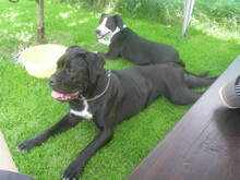 CHANEL, Hund, Cane Corso in Slowakische Republik - Bild 1