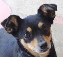 EBONY3, Hund, Chihuahua-Mix in Zypern - Bild 1