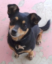 EBONY3, Hund, Chihuahua-Mix in Zypern - Bild 5