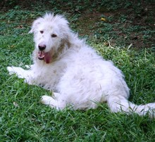 AURELIO, Hund, Spinone Italiano-Mix in Italien - Bild 2