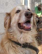 MARA, Hund, Golden Retriever-Mix in Spanien - Bild 1