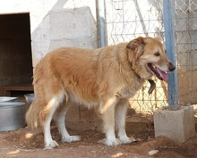 MARA, Hund, Golden Retriever-Mix in Spanien - Bild 4