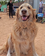 MARA, Hund, Golden Retriever-Mix in Spanien - Bild 5