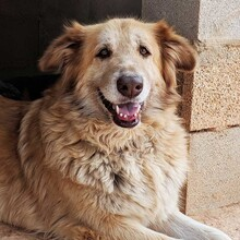 MARA, Hund, Golden Retriever-Mix in Spanien - Bild 6