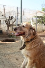 MARA, Hund, Golden Retriever-Mix in Spanien - Bild 7