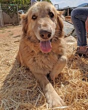 MARA, Hund, Golden Retriever-Mix in Spanien - Bild 9