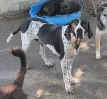 OTTO, Hund, Pointer in Spanien - Bild 3