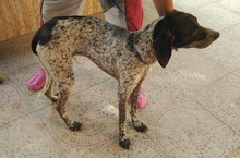 CARLOTA, Hund, Deutsch Kurzhaar-Mix in Spanien - Bild 4