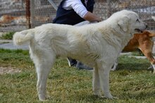 DULCE, Hund, Golden Retriever-Mix in Spanien - Bild 7