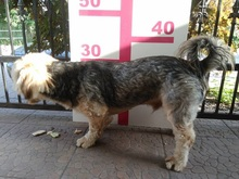 DZONY, Hund, Yorkshire Terrier-Mix in Ortenberg - Bild 13