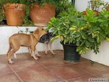 SCOTTY, Hund, Mischlingshund in Spanien - Bild 4