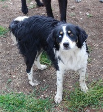 BLUE, Hund, Australian Shepherd-Mix in Bulgarien - Bild 1