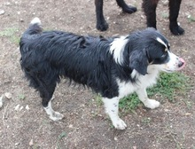 BLUE, Hund, Australian Shepherd-Mix in Bulgarien - Bild 2