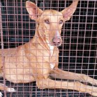 PRINCESA, Hund, Podenco-Mix in Spanien - Bild 1