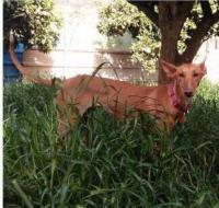 PRINCESA, Hund, Podenco-Mix in Spanien - Bild 2