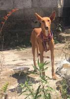 PRINCESA, Hund, Podenco-Mix in Spanien - Bild 3