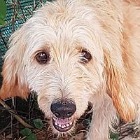 CILEX, Hund, Spinone Italiano-Mix in Italien - Bild 1