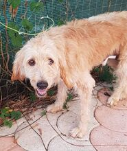 CILEX, Hund, Spinone Italiano-Mix in Italien - Bild 11