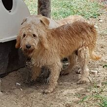 CILEX, Hund, Spinone Italiano-Mix in Italien - Bild 2
