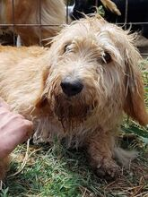 CILEX, Hund, Spinone Italiano-Mix in Italien - Bild 3