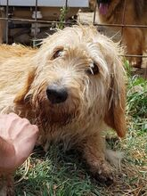 CILEX, Hund, Spinone Italiano-Mix in Italien - Bild 4